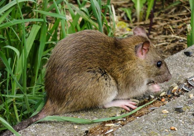 There were 295 reports of rat infestations in Leigh in 2019