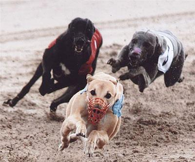 Whippet racers steeped in tradition