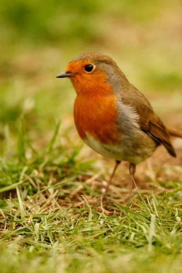 The Robin is a well-loved garden visitor.