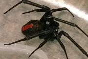 Rare toxic spider discovered in Dartford