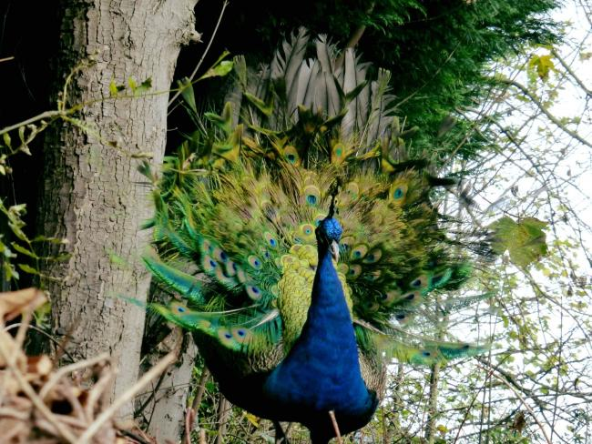 Gilly the Woolwich peacock. Picture by Mike Williams
