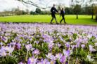 People walk past crocus bulbs in full bloom at Royal Victoria Park, Bath